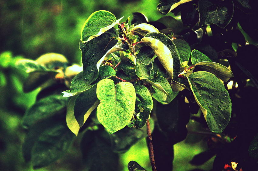 Beauty In Nature Close-up Day Focus On Foreground Green Green Color Growing Growth Leaf Leaf Vein Leaves Nature Outdoors Plant Selective Focus Tranquility