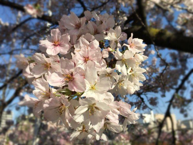 Kyoto Spling Kyoto Sakura Kyoto,japan Kyoto Sakura 2017 Kyoto Sakura Sky Sakura 2017 Sakura Cherry Blossoms