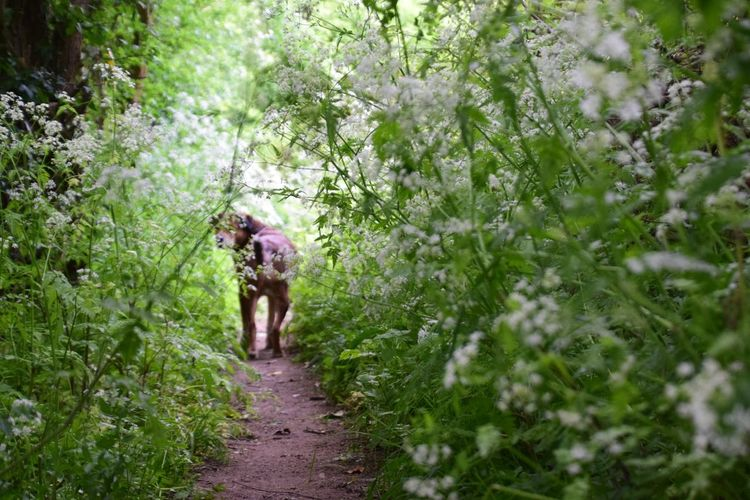 Farm Tracks Lost In Nature Blossom Tree Natural Tunnel Cow Parsley Wiltshire Farmland Plant Growth Green Color Real People Full Length Tree Rear View Walking Footpath Nature The Way Forward Outdoors