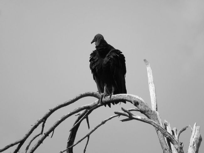 Animal Bird Vulture On The Prowl Bare Tree Branches Nature From A Distance Black And White Photography