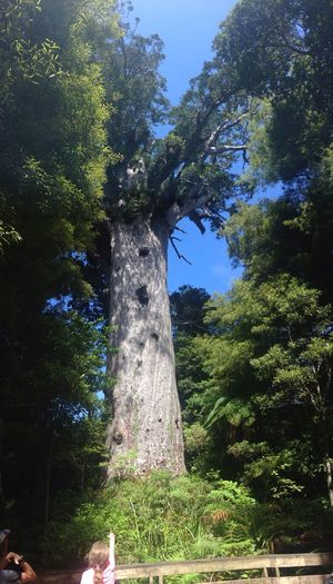 A girl looks up at New Zealand's largest living Kauri tree Tane Mahuta Kauri Newzealand Big Tree