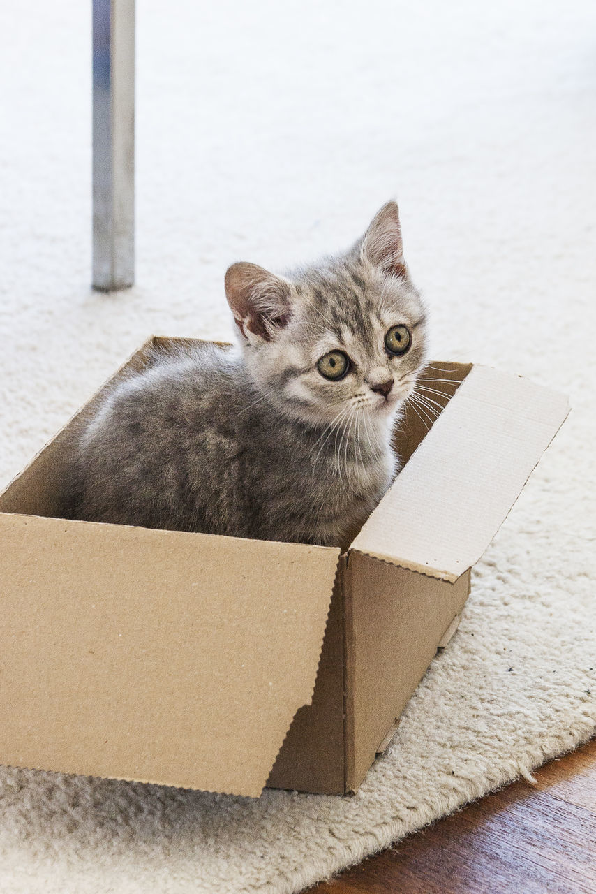 cardboard box, domestic cat, box - container, animal themes, mammal, feline, cardboard, whisker, one animal, pets, portrait, domestic animals, no people, indoors, day, close-up