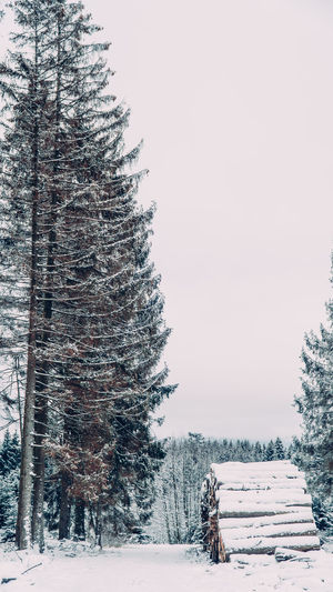 Pine trees on snow covered field against clear sky