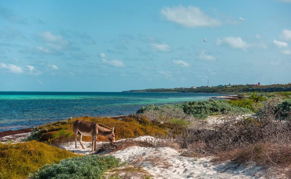 🐴Donkeys in paradise🐴~ Sea Beach Water Beauty In Nature Godscreation Tropical Climate Donkeys Sand Grandturk Summer Turksandcaicos