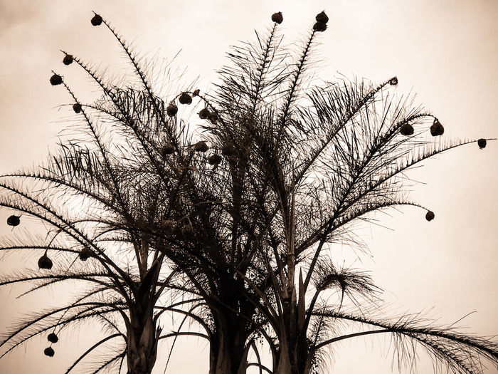 Bare Tree Bird Nests Branch Close-up Day Growth Low Angle View Nature No People Outdoors Sepia Silhouette Sky Tree Weaver Bird