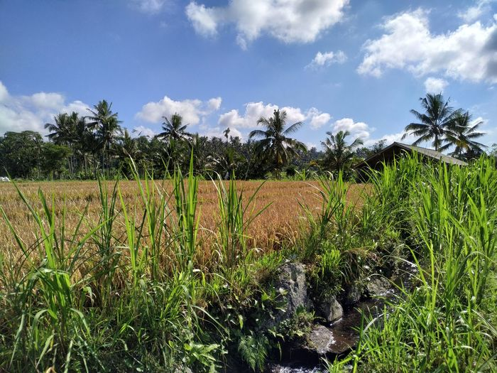 Irrigation Tree Irrigation Equipment Cereal Plant Rural Scene Agriculture Rice Paddy Field Crop  Palm Tree Farm Terraced Field Plantation Cultivated Land Rice - Cereal Plant Agricultural Field