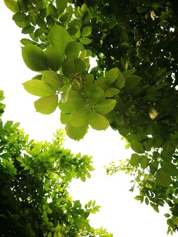 Green is the new black Nofilter#noedit Nofilterneeded Green Leaves Tree_collection  Green Collection Sun Summer Views Sunset_collection Ontheway Lemon Tree Grove Lemon Shining Juicy Vitamin C Streaming Apple Blossom Fruit Tree Apple Tree Orchard Sour Taste Vegetable Garden Orange Tree Ripe Cultivated Unripe