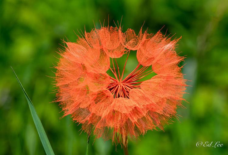 Close-up of red dandelion flower
