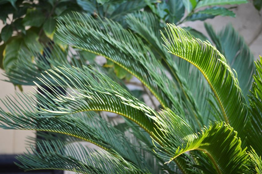 Leaf Green Color Plant Part Plant Growth Close-up Beauty In Nature Nature Focus On Foreground Tree Day No People Outdoors Freshness Selective Focus Palm Leaf Sunlight Tranquility Branch Fragility Leaves Needle - Plant Part