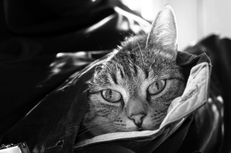 Grayscale Black And White Cat Close-up Domestic Domestic Animals Indoors  Mammal No People One Animal Pets Vertebrate