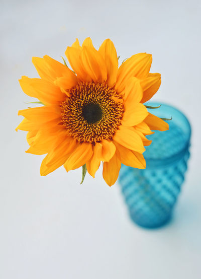 Sunflower Beauty In Nature Blue Vase And Flowers Close-up Flower Flower Head Flowering Plant Focus On Foreground Fragility Freshness Growth Indoors  Inflorescence Nature No People Petal Plant Pollen Studio Shot Vulnerability  Yellow
