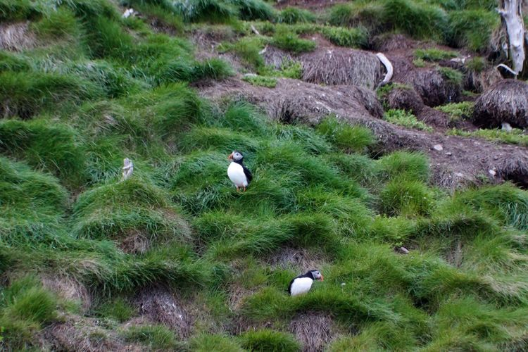 Newfoundland Newfoundland, Canada Puffin Animal Animal Themes Animal Wildlife Animals In The Wild Bird Day Grass Green Color No People Outdoors Puffins Two Animals
