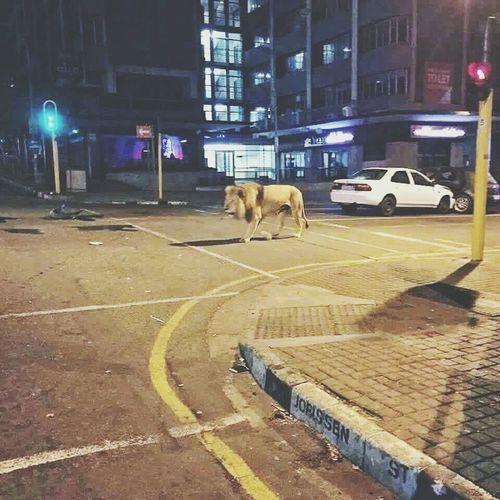 Lion africa Enjoying Life Hello World