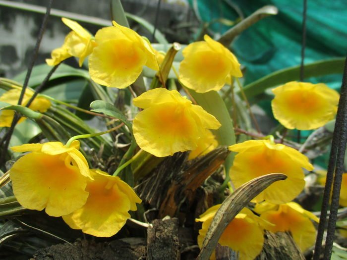 Beauty In Nature Blooming Close-up Day Flower Flower Head Fragility Freshness Growth Nature No People Outdoors Petal Plant Vanda Yellow กล้วยไม้ที่บ้าน