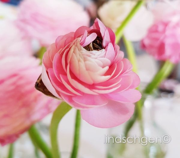 wunderschöne Blüte ,Ranukel, wie ich sie liebe Springtime Ranunkel  Ranunculus Enjoying Life EyeEm Best Shots EyeEm Nature Lover EyeEmBestPics Nature Glücklich Beauty In Nature Flower Head Flower Peony  Pink Color Petal Rose - Flower Close-up Plant