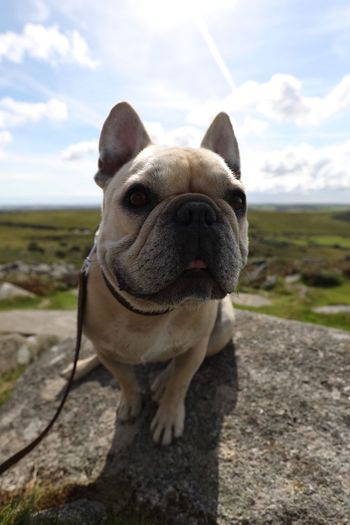 Be. Ready. One Animal Dog Domestic Animals Animal Themes Pets Sky Mammal Outdoors Cloud - Sky Day No People Nature Close-up Portrait Top Of The World Frenchbulldog EyeEmNewHere