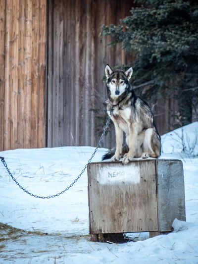finding Nemo Animal Portrait Animal Themes Canada Chained Cold Temperature Day Dog Nature No People One Animal Outdoors Sled Dog Snow Wilderness Winter Winter Sport Wood - Material Working Animal Yukon Yukon Territory