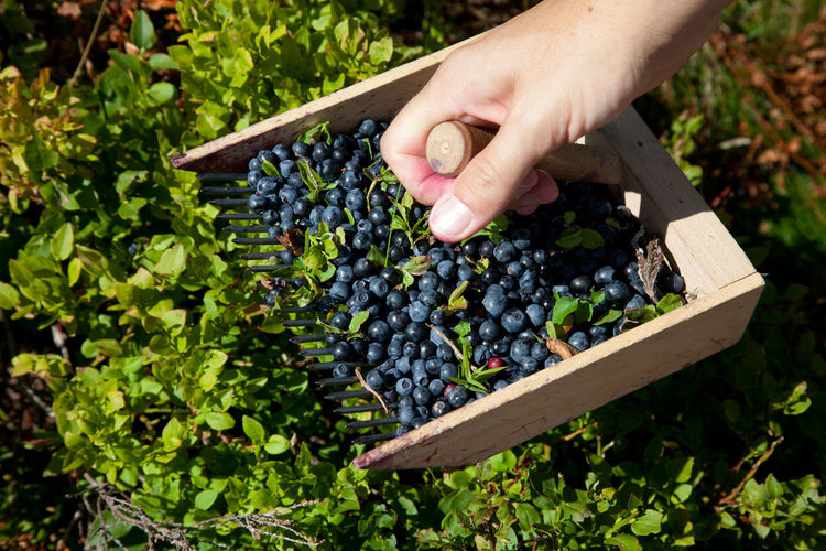 Cropped hand of man picking blueberries at farm