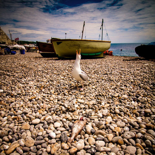 Seagull calling on pebbles at beach