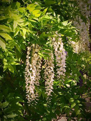 Urban Spring Fever Wisteria In White! Water Conversation Park. Flowers,Plants & Garden Enjoying Life