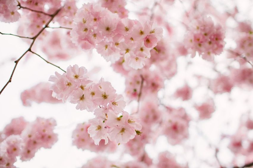 Summertime Summer Spring Springtime Flower Flower Flowering Plant Freshness Plant Beauty In Nature Fragility Blossom Tree Pink Color Springtime Growth Branch Vulnerability  Cherry Blossom Nature Close-up Day Cherry Tree No People Twig
