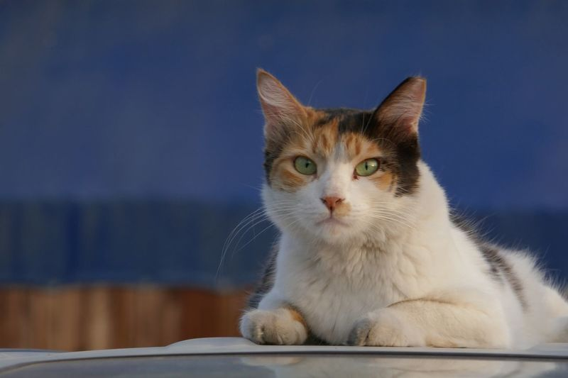 Close-up portrait of cat sitting on car roof