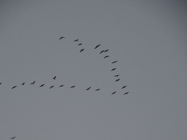 Animal Themes Animals In The Wild Beauty In Nature Bird Day Flock Of Birds Flying Large Group Of Animals Low Angle View Migrating Nature No People Outdoors Scenics Sky Spread Wings
