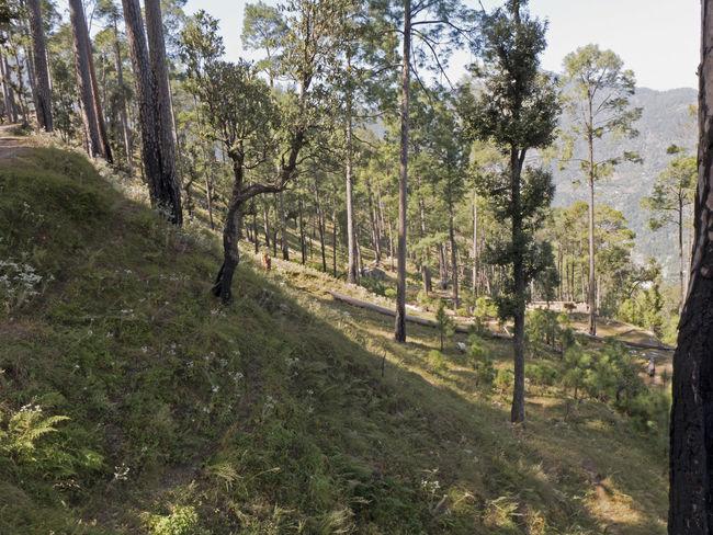 India Mukteshwar Tree Trunk Beauty In Nature Embankment Forrest Grass Growth Hill Landscape Mountain Nature Scenics Slope Tree Uttarakhand