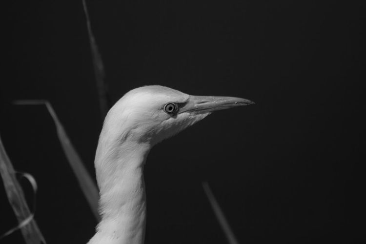 Black and white of cattle egret