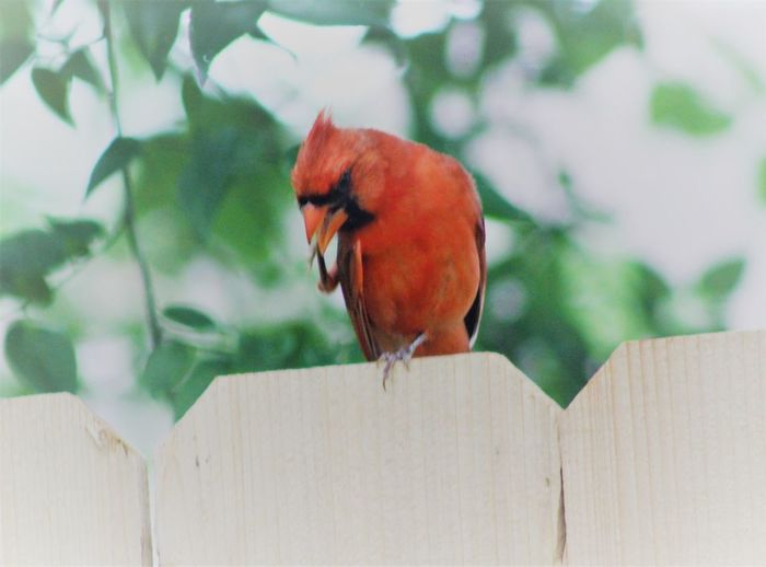 Animal Themes Animal Wildlife Animals In The Wild Bird Close-up Day Nature No People One Animal Outdoors Perching Red Redbird