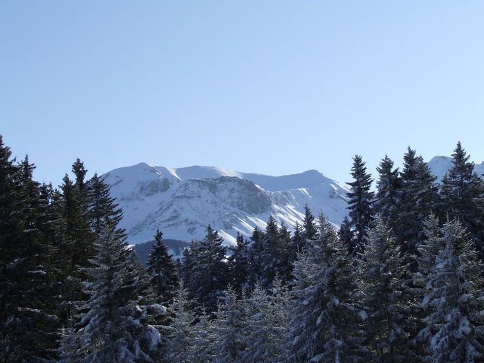 Pine trees against mountains in winter