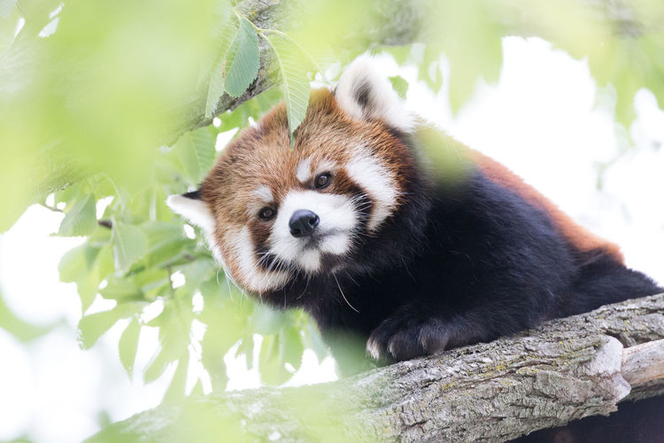 Low Angle Portrait Of Red Panda On Branch