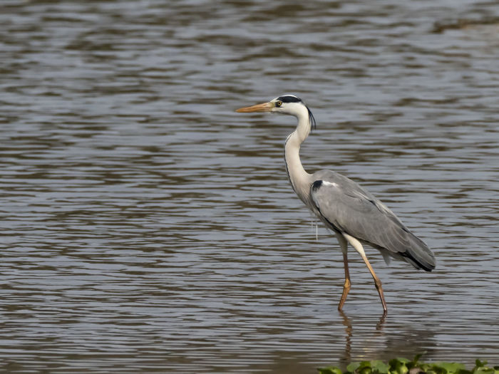 Grey Heron (Ardea cinerea) Animal Themes Animal Bird Water Animal Wildlife Vertebrate One Animal Animals In The Wild Heron Water Bird Lake No People Side View Nature Day Gray Heron Outdoors Focus On Foreground Waterfront Animal Neck