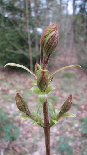 Macro Kidneys Nature Bourgeons IKEBANA Bonsai Spring Trees Branches Green