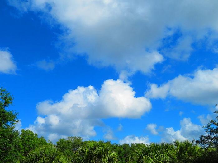 Florida sky - slightly stormy, yet sunny blue sky Florida Sky Florida Blue Sky And Clouds Tree Blue Forest Rural Scene Sky Cloud - Sky Cumulus Cloud Meteorology Treetop