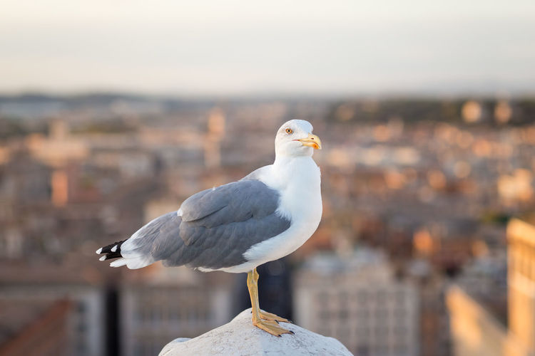 Seagull perching against buildings in city