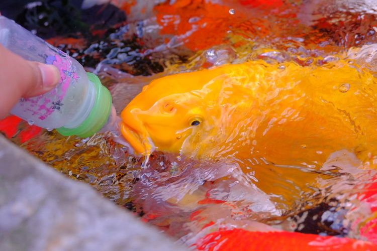 fancy carp fish in pond Animal Carp Fish Color Colorful Fancy Carp Fancy Carp Fish Feed  Feeding  Fish Pool Swarm
