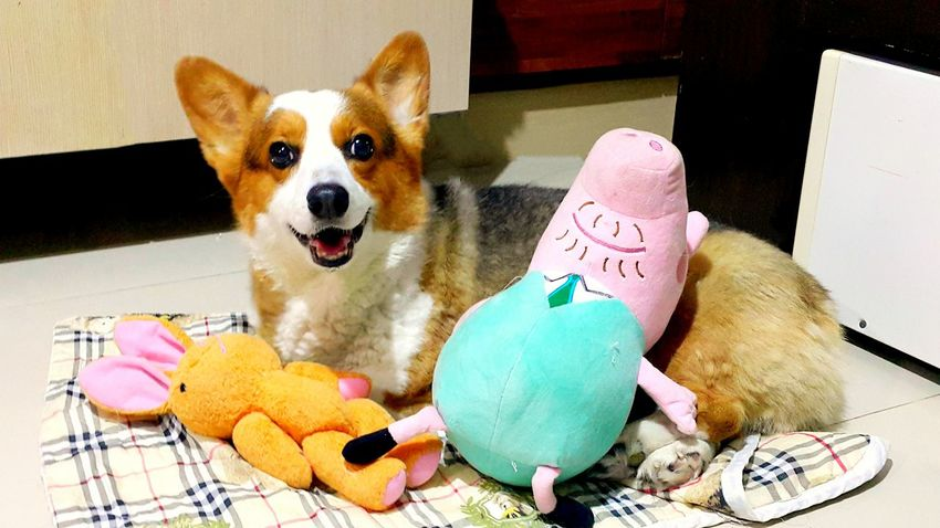 Welsh Corgi Pets Corner Pippin, Corgi, Dog Puppy Love Corgipuppies Cute First Eyeem Photo Lifeisbeautiful Eyemnaturelover Eye For Photography