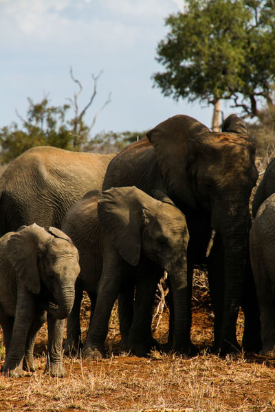 Animal Animal Themes Animal Trunk Animals In The Wild Day Domestic Animals Elephant Elephant Calf Elephants Field Focus On Foreground Full Length Krüger National Park  Mammal Outdoors Sky South Africa Togetherness Two Animals Walking Young Animal Zoology