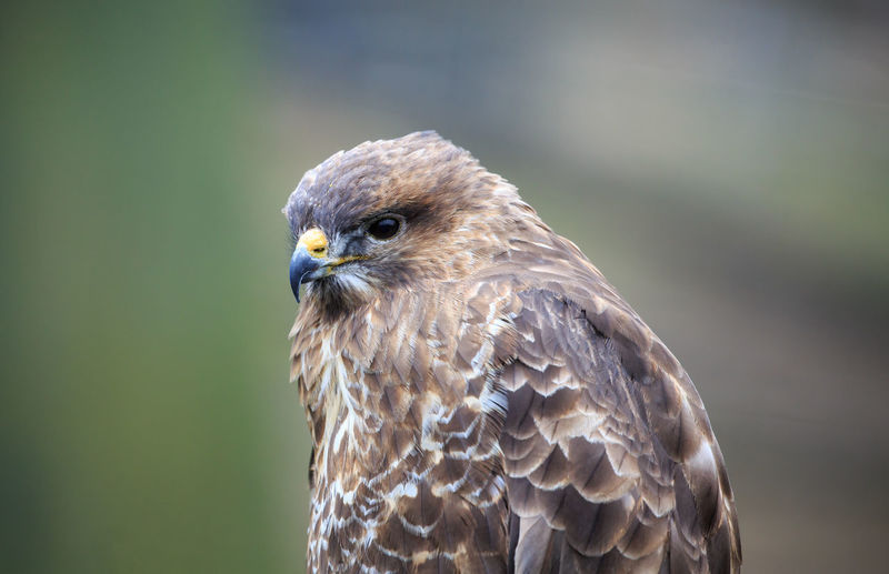 A common buzzard up close