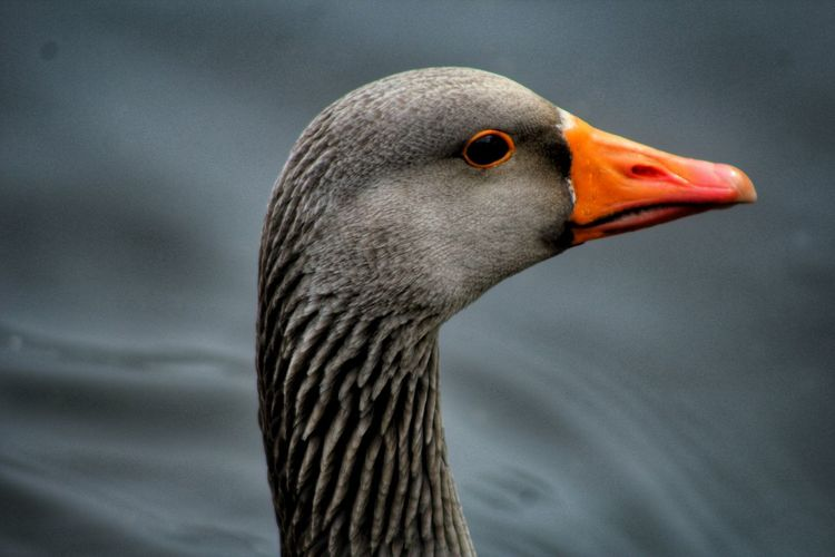 Close-up of goose on lake