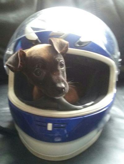 Perrito Negro Y Cafe Chihuahua. Listo para irse en moto.. Casco De Moto