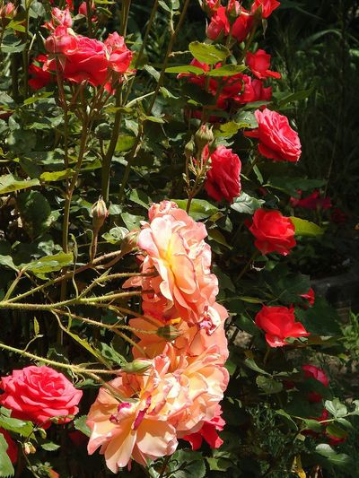 розы розы Новороссийска Roses