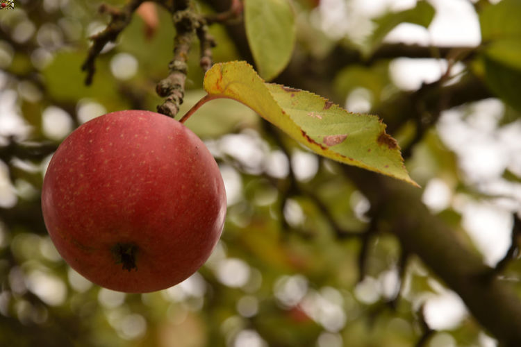 Ripe red apple on apple tree, Malus Apple Apple Tree Apples On Tree Beauty In Nature Branch Close-up Day Focus On Foreground Food Food And Drink Freshness Fruit Growth Healthy Eating Leaf Malus Malus Domestica Nature No People Outdoors Plant Red Ripe Tree Wellbeing EyeEmNewHere