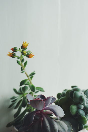 Succulents blooming with yellow flowers Beauty In Nature Blooming Close-up Day Flower Flower Head Flowers Fragility Freshness Green Color Growth Indoors  Leaf Nature No People Plant Succulent Succulent Plant Succulent Plants Succulents White Background