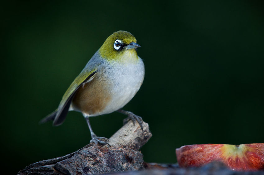 This is a waxeye, also known as a silvereye. During the colder winter months they come to our garden for their daily drinks of sugar water. NZ Birds Animal Animal Themes Animal Wildlife Animals In The Wild Bird Close-up Day Nature No People One Bird Outdoors Perching Silvereye Waxeye