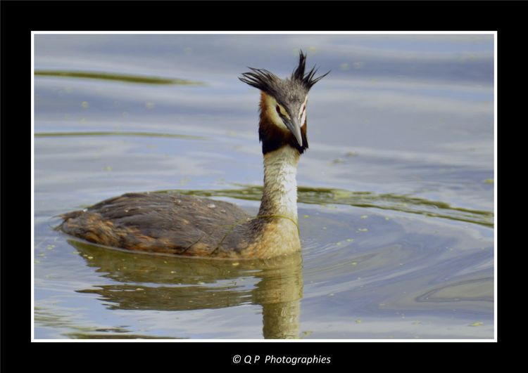 Grebe Huppé Grebe Oiseaux Beautiful Nature Nature Harmony EyeEm Nature Lover Nature Photography