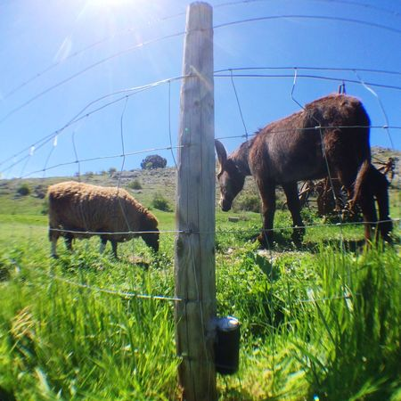 Patient camera among the cattle. Walking for hours looking for Solargraphy devices I feel closer to cattle herding than photography. Soria, Castilla y Leon. Solarigraphy Solarigrafia Pinhole Camera Soria
