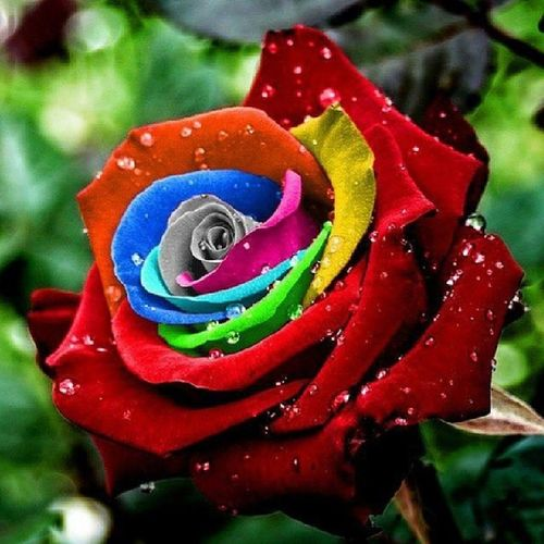 RainbowRose ^^ yup that's what happens when I loose the Internet lol Thepowerofediting Rosé Colourful bored amazing