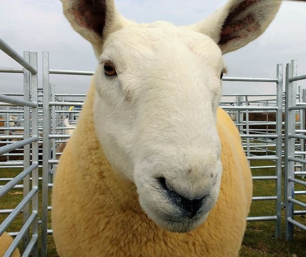 Agriculture Cheviot Sheep Lamb Metal Fence Scotland Cheviot Close-up Farm Animal Livestock Mammal One Animal Pen Sheep White Face White Faced Sheep Woolly